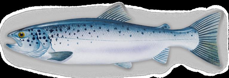 salmon-new