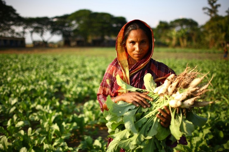 Anowara Begum, 35, harvests radishes in a field in Ampara, Bangladesh. The Microfinance and Technical Support Project is an IFAD initiative which focused on small-scale farmers with limited access to land in an area commonly affected by extreme yearly flooding. The project aims to improve access to essential services and focus on the promotion of high-value products which do not require large landholdings. Ampara is located in Raja Nagar, Sunamganj, Bangladesh.